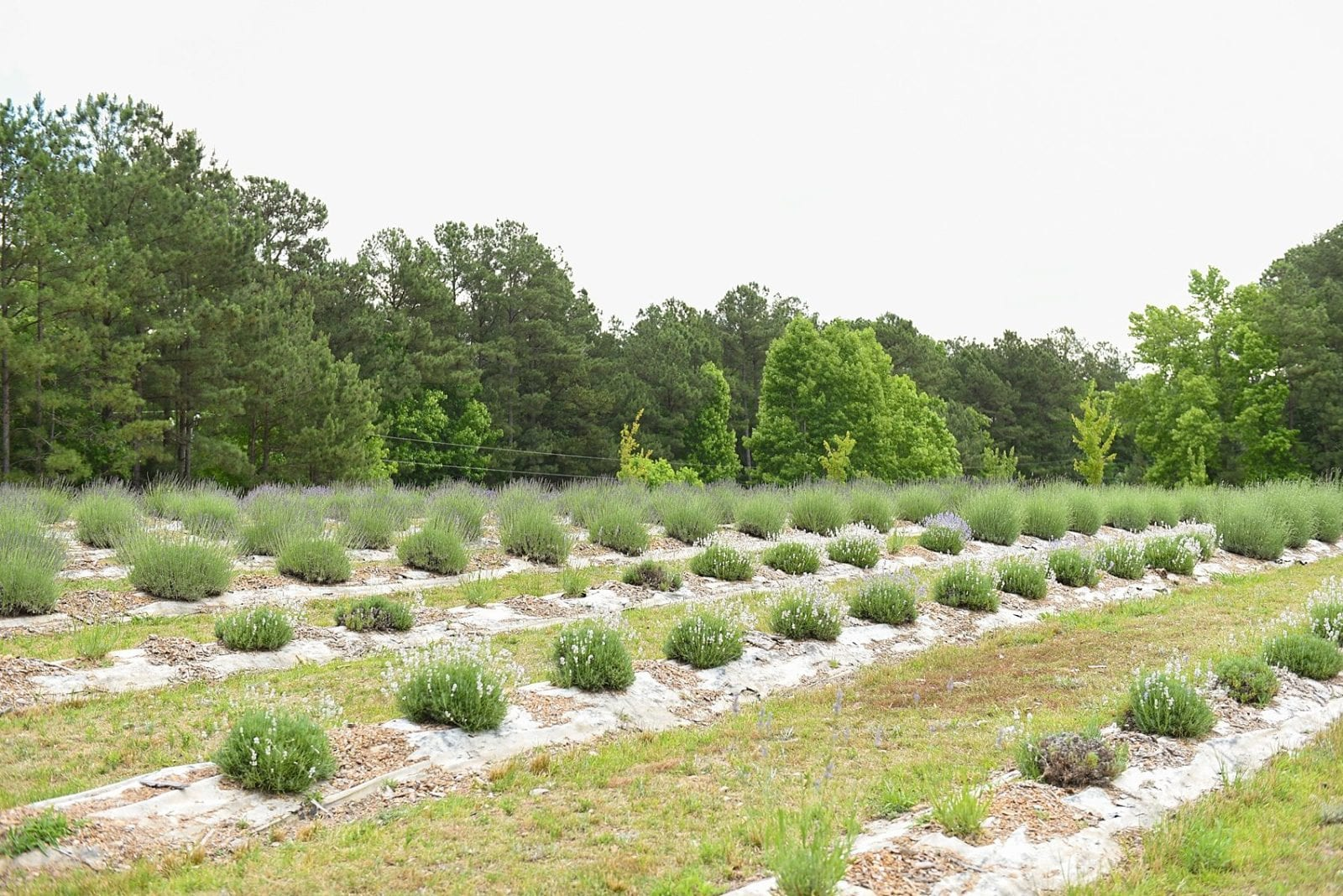 Lavender farm in Raleigh, North Carolina. Photos by Mikkel Paige Photography for Sometimes Home 30-something travel blog.
