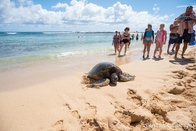 Koloa Heritage Trail photos on the south end of Kauai, Hawaii. Images of a turtle on the beach on Sometimes Home travel blog, by Mikkel Paige.