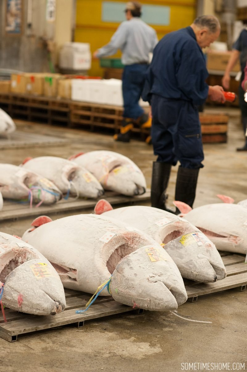 Experience and photos at Tsukiji Fish Market in Tokyo, Japan by Sometimes Home Travel Blog. Frozen tuna are sliced open to reveal meat quality.