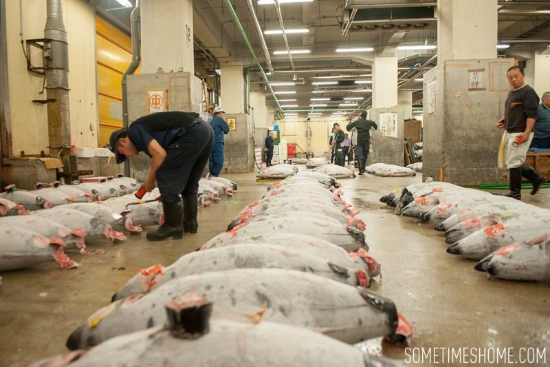 Experience and photos at Tsukiji Fish Market in Tokyo, Japan by Sometimes Home Travel Blog. Frozen tuna are inspected by auction buyers.