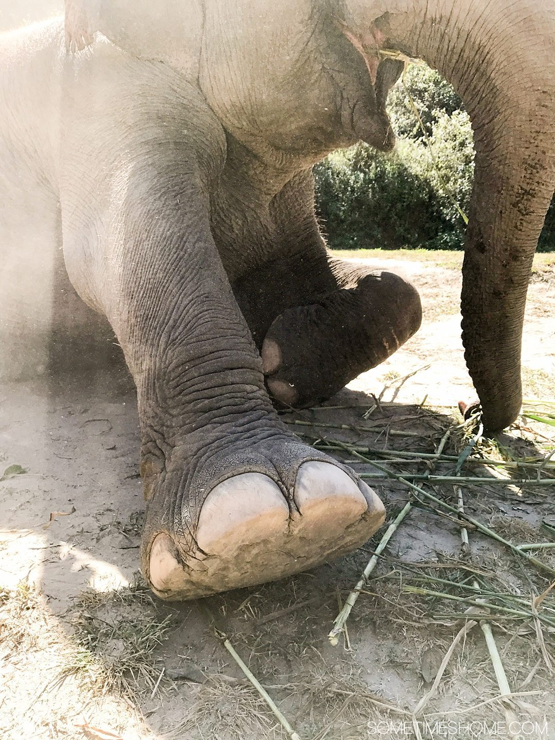 Vital FAQs Answered About Patara Elephant Farm in Chiang Mai. Information by Sometimes Home travel blog. Elephants sweat through their cuticles by their toes. Photo of an elephant foot.