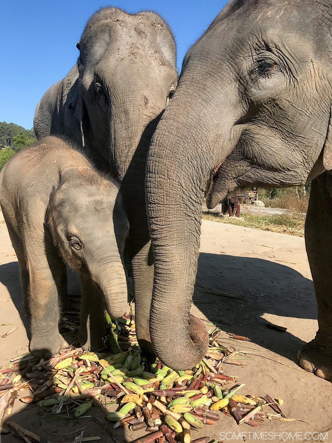 Vital FAQs Answered About Patara Elephant Farm in Chiang Mai. Information by Sometimes Home travel blog. A photo of three generations of elephants, a mother, grandmother and baby.