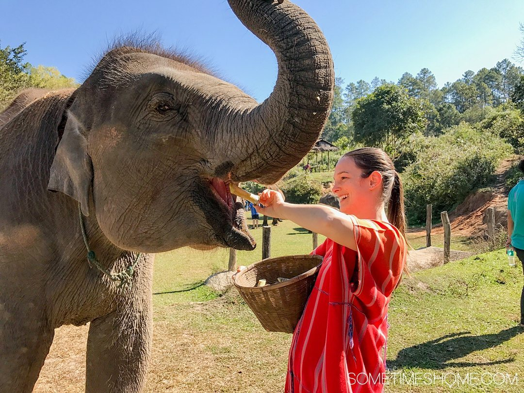 Vital FAQs Answered About Patara Elephant Farm in Chiang Mai. Information by Sometimes Home travel blog. A photo participating in Elephant Owner for a Day including feeding the animals bananas and sugar cane.