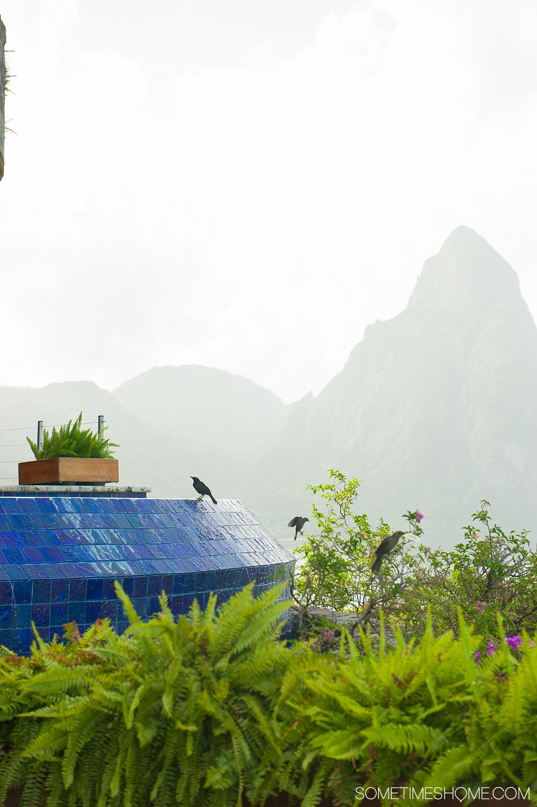 Your Questions Answered: Jade Mountain St. Lucia on Sometimes Home travel blog. Photo of blackbirds near the infinity pool in the Galaxy sanctuary.