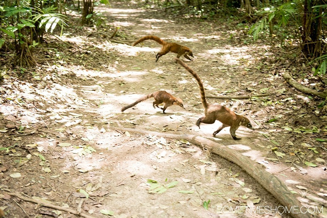Your Tikal Guatemala Mayan Ruins Adventure Begins Here. Sometimes Home travel post with photos, tips and advice to visit this famous Mayan Ruin site. Photo of Coatis crossing the path, a relative of the raccoon.