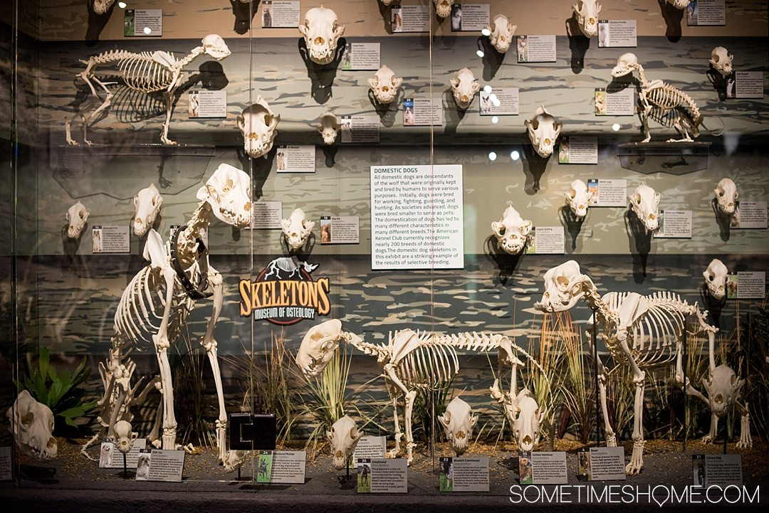 Orlando indoor activities for adults: Skeletons Museum of Osteology. It's a great thing to do for adults or kids, indoors on International Drive at the new attraction area in Florida: I-Drive 360. Great for winter, fall or spring and summer - get away from the heat! Click to see a complete review and why it's such a cool place to visit! #OrlandoFL #Skeletons #Bones