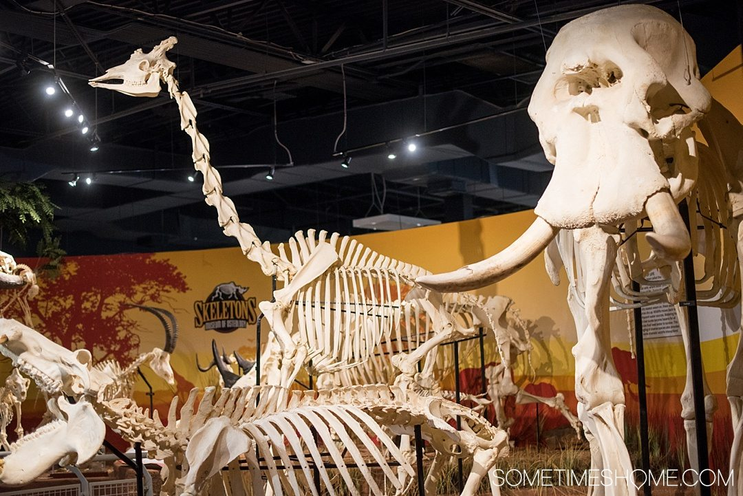 Orlando indoor activities for adults: Skeletons Museum of Osteology. It's a great thing to do for adults or kids, indoors on International Drive at the new attraction area in Florida: I-Drive 360. Their modern specimens include an African elephant and giraffe. Click to see a complete review and why it's such a cool place to visit! #OrlandoFL #Skeletons #Bones