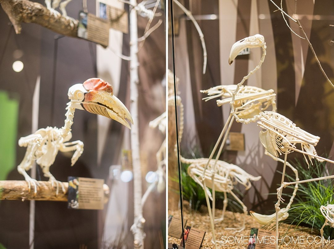 Orlando indoor activities for adults: Skeletons Museum of Osteology. It's a great thing to do for adults or kids, indoors on International Drive at the new attraction area in Florida: I-Drive 360. Their modern specimens include bird, fish and more when you click through to see a complete review! #OrlandoFL #Skeletons #Bones
