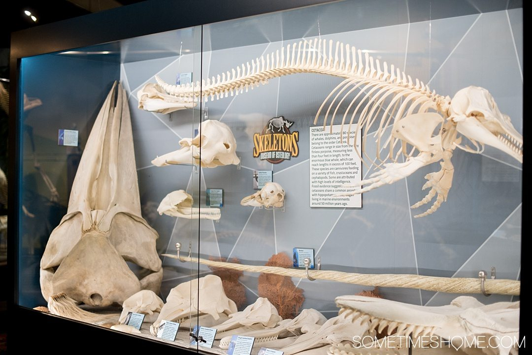 Orlando indoor activities for adults: Skeletons Museum of Osteology. It's a great thing to do for adults or kids, indoors on International Drive at the new attraction area in Florida: I-Drive 360. A narwhal horn is on display and MUCH more in this 2-hour activity. Click through to see a complete review! #OrlandoFL #Skeletons #Bones