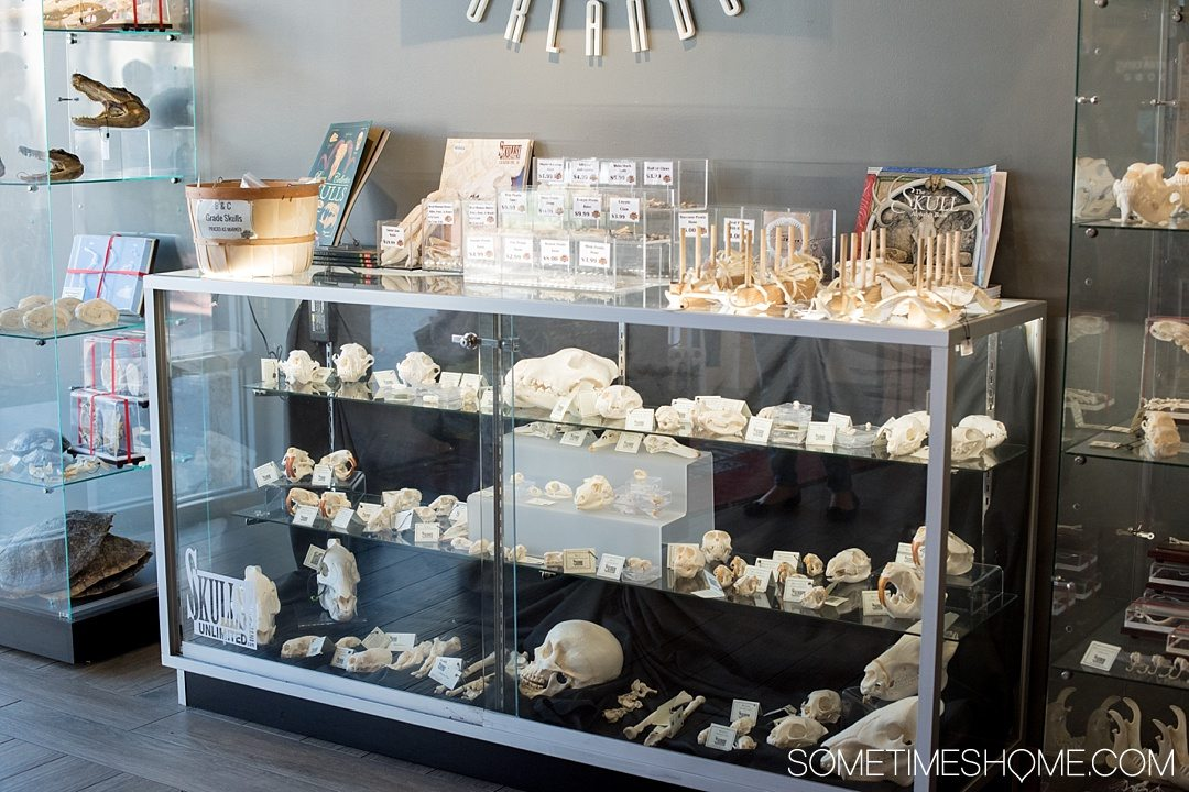 Orlando indoor activities for adults: Skeletons Museum of Osteology. It's a great thing to do for adults or kids, indoors on International Drive at the new attraction area in Florida: I-Drive 360. The notable gift shop has real bones for purchase! Click through for hours of operation and what to expect. #OrlandoFL #Skeletons #Bones