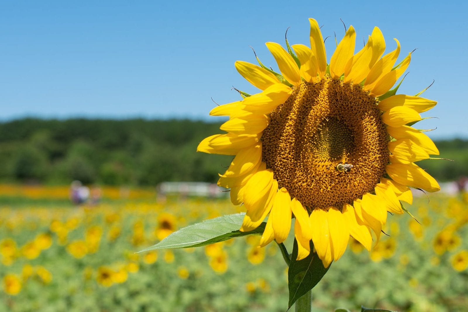 Raleigh Sunflowers Field In North Carolina All You Need To Know