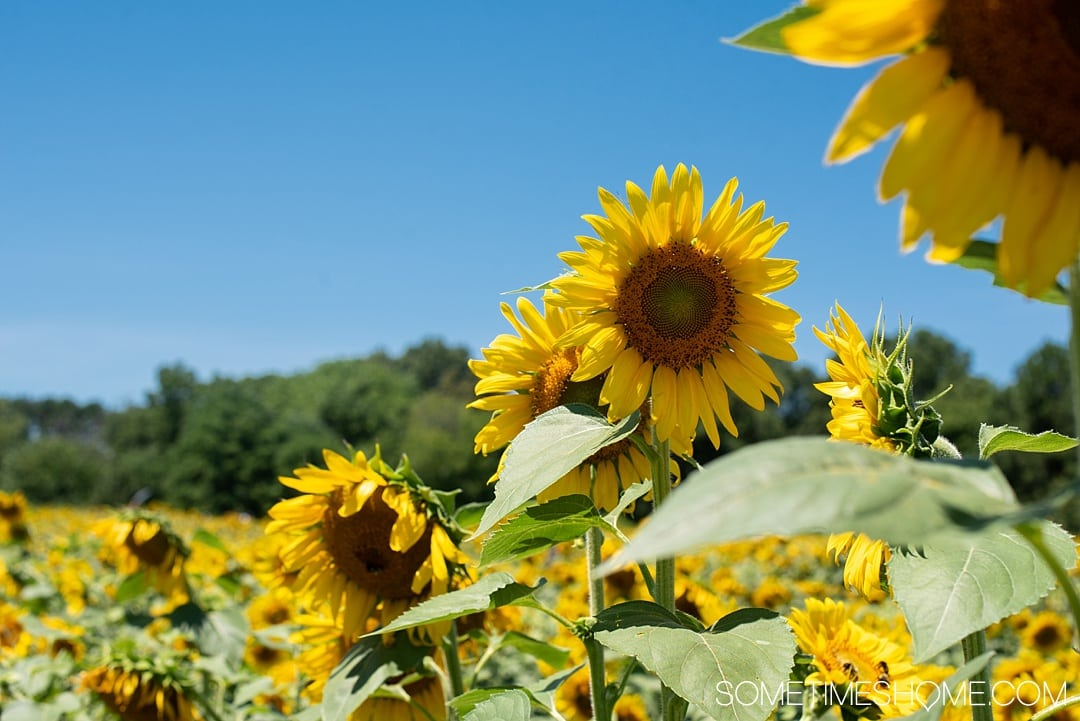 Raleigh sunflowers in North Carolina, with all the information you need to make your visit a success. Sometimes Home travel blog includes things to do at the flower fields near downtown, photos to help you get the most from your travel and summer visit to this beautiful city attraction. Click through for all the information! #RaleighNC #VisitRaleigh #Raleigh #RaleighNorthCaorlina #FlowerFields #Sunflowers #SunflowerFields