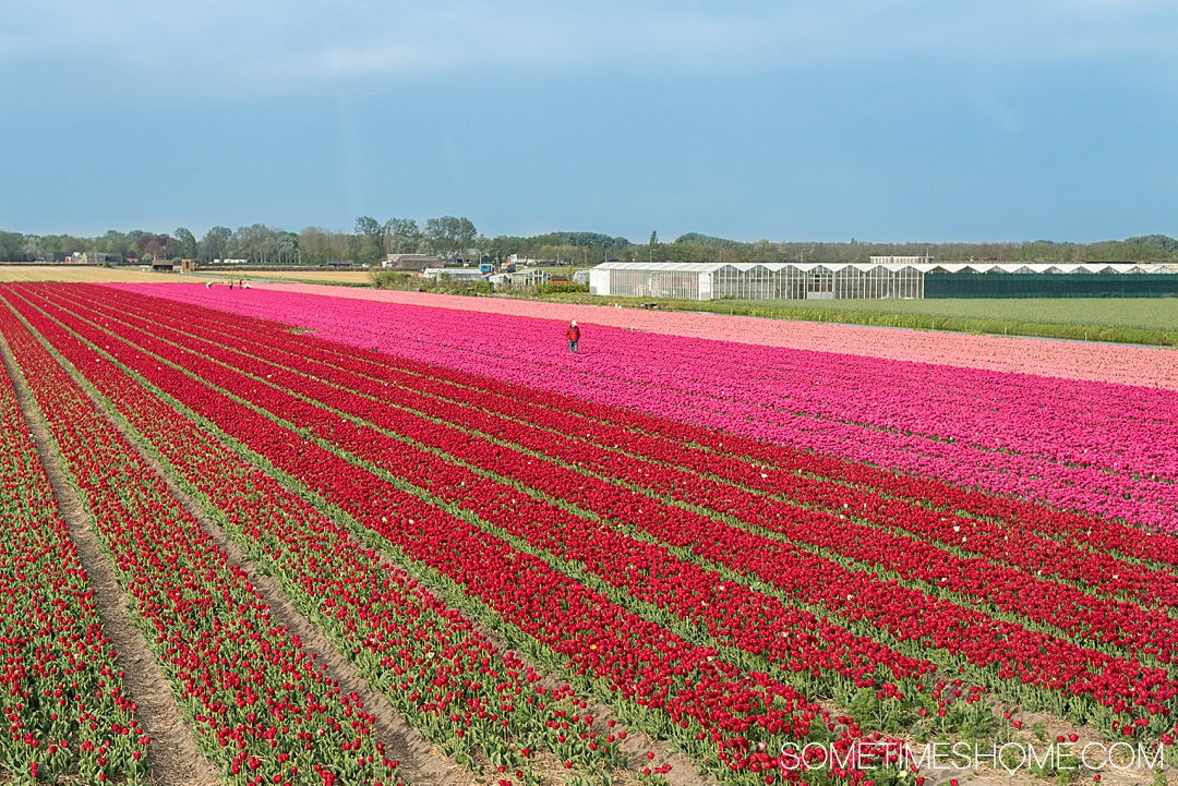 Travel from Amsterdam to Keukenhof to see flower gardens, tulip fields of your dreams and enjoy nature. Holland is home to Lisse, the festival city and bucket list event at one of the most beautiful European cities in the world during spring season in The Netherlands. The colors and beauty of the bulbs in bloom in our photography and tips in our articles will inspire you to vacation to this destination no matter where you live in the world. #Keukenhof #TulipFields #TulipGarden #SometimesHome