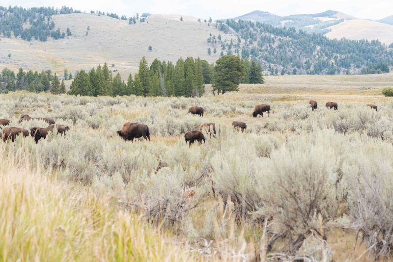 Yellowstone Tips and Fast Facts at the Iconic National Park