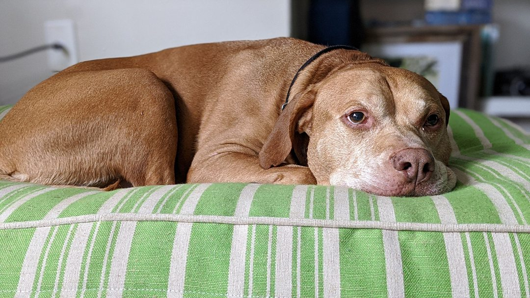 Photo of a brown colored dog.