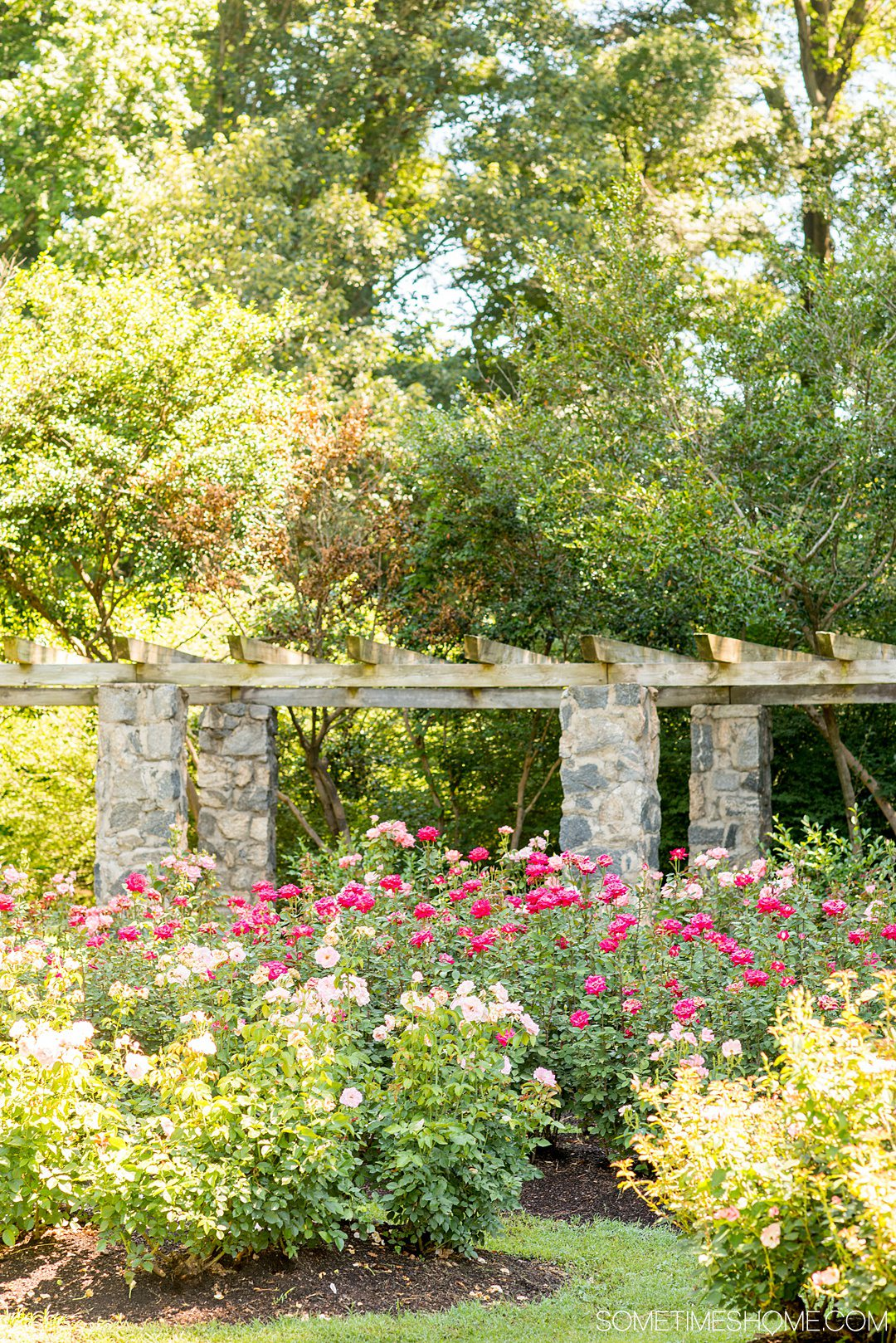 Photo of a pergola and roses in the Raleigh Rose Garden in Raleigh, NC.