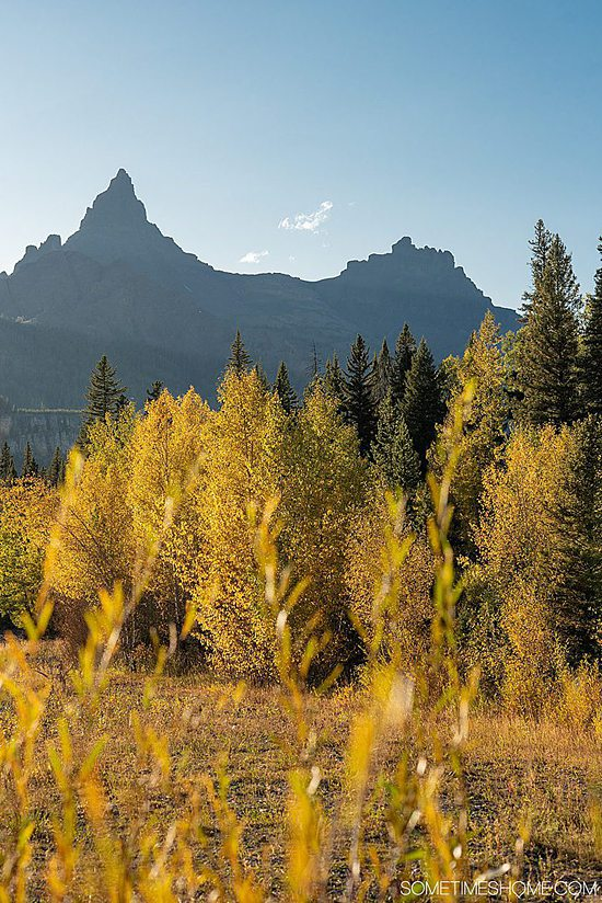 Aspen trees with yellow fall leaves and mountains in the background on one of the most scenic drives in America along Beartooth Highway.