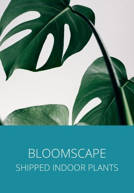 Bloomscape at home shipped plants and a photo of tropical green Monstera plant leaves.