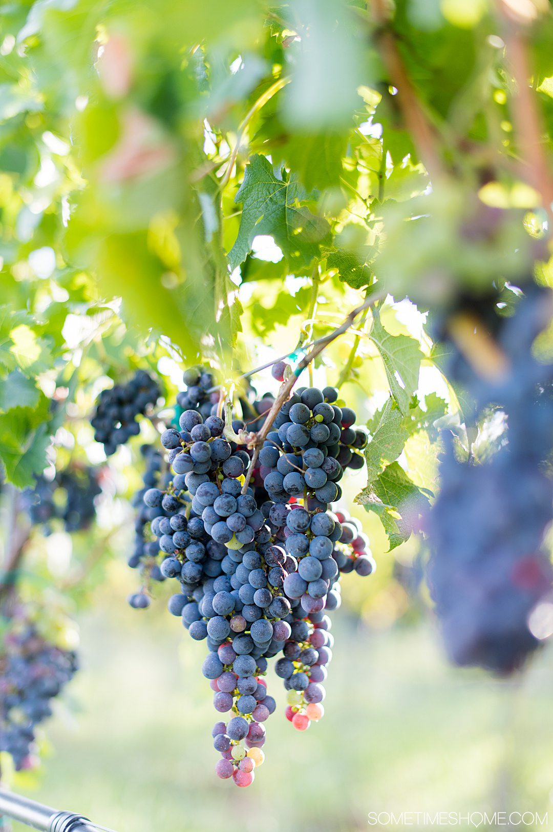 Red grapes in a purple color on a green vine at Rosemont vineyard in Virginia.