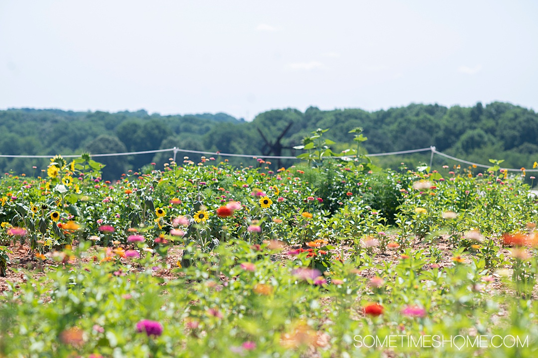 Plant bed of sunflowers, zinnias and cosmos at NCMA park in Raleigh, NC.