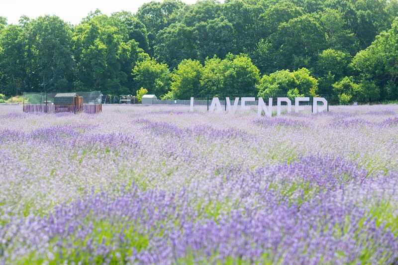 Must-See Long Island Lavender Field: Lavender by the Bay