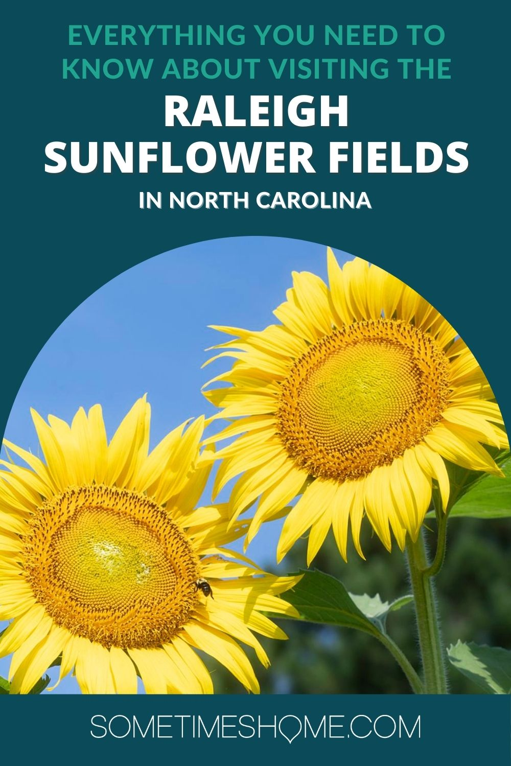 Everything you Need to know about the Raleigh Sunflower Fields with a picture of two yellow sunflowers.