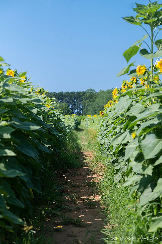 Two rows of tall sunflowers at the field at Dorothea Dix park in Raleigh, NC.