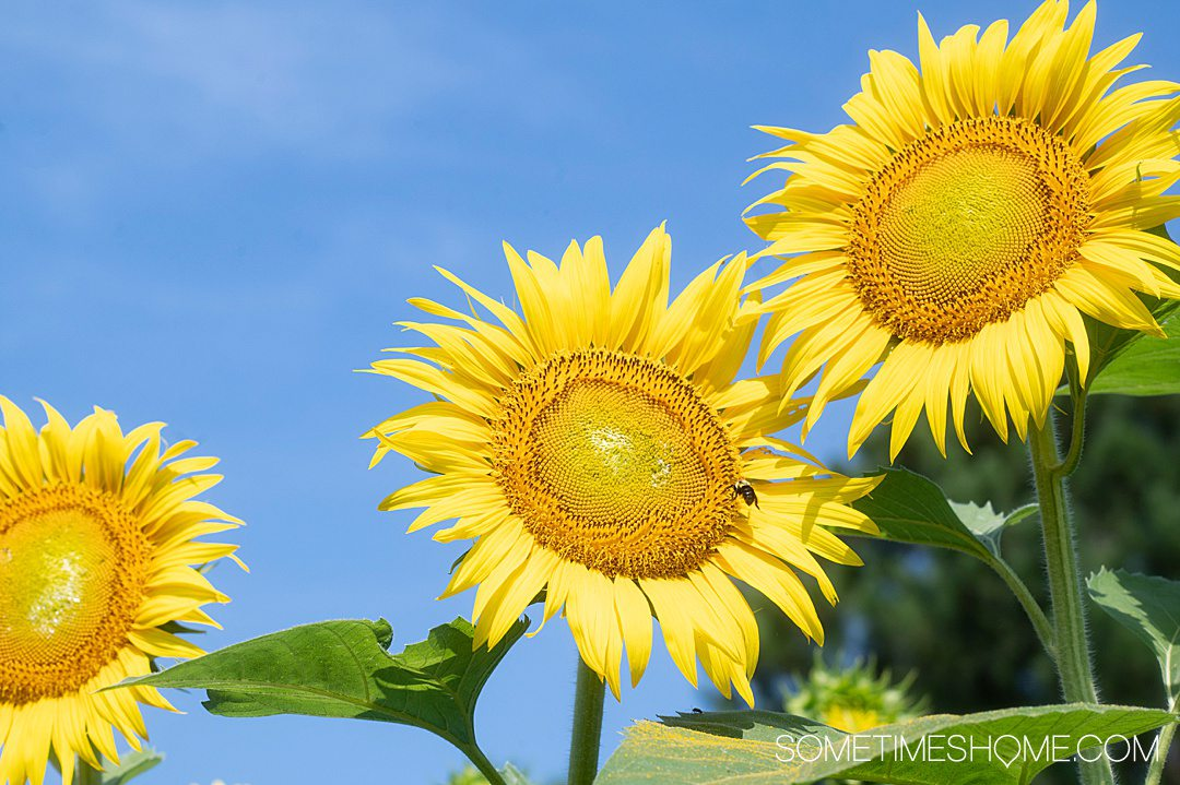Three bright yellow sunflowers against a blue sky.